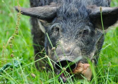 Bioschüssel_Schweine (14)
