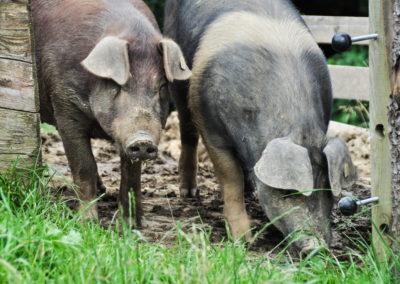 Bioschüssel_Schweine (6)