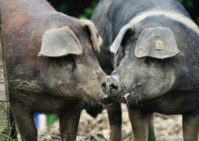 Bioschüssel_Schweine (8)