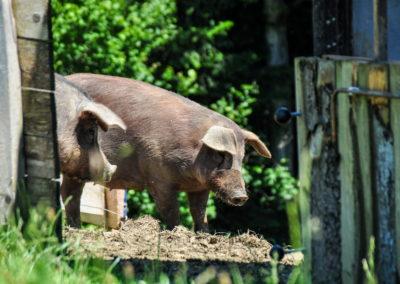 Bioschüssel_Schweine (1)