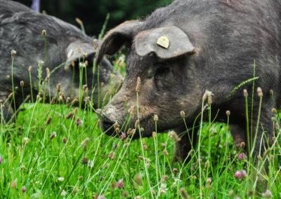 Bioschüssel_Schweine (4)