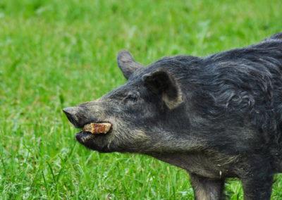 Bioschüssel_Schweine (9)