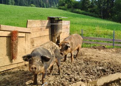 Durocschweine