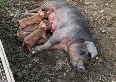 Glückliches Schüsselschwein