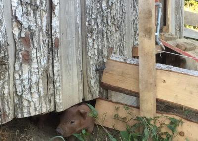 Schwein auf Wanderschaft