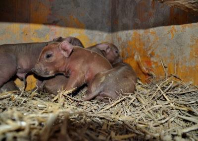 kleine Schüsselschweine